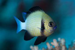 BD-150422-Maldives-7698-Dascyllus-carneus.-Fischer.-1885-[Cloudy-dascyllus].jpg